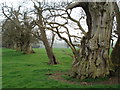 SO4465 : The Spanish Chestnuts at Croft Castle by Trevor Rickard