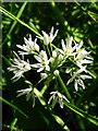 NU1228 : Ramsons Wild Garlic - Allium ursinum by Lisa Jarvis