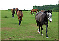 SO6796 : Horses Grazing, Haughton, Shropshire by Roger  Kidd