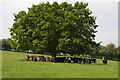 SO6870 : Cattle in the shade of an oak tree, near Mamble by Philip Halling