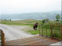 SH9233 : A solitary Shetland pony below the cattle grid on the Mynydd Cefnddwygraig road by Eric Jones