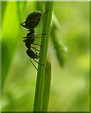 NH6091 : Harvester Ant by Kirsty Coghill