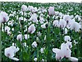 SK9778 : White Poppies by Ian Paterson