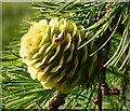 NJ3742 : Larch Cone by Anne Burgess