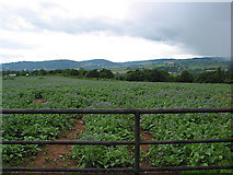 SO5620 : Borage crop with rain approaching by Pauline E