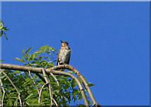 NZ9404 : Thrush waiting on Weeping Ash at Middlewood Farm by Ian Hudson