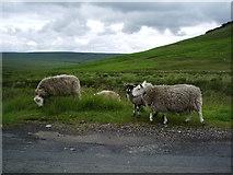 SE0210 : Sheep by Alexander P Kapp