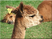 NY4827 : Alpaca in The Lakes by Nick Barker