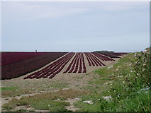 O2457 : Field of Red Lettuce by jai