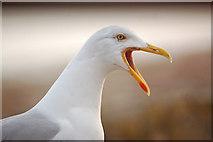 SW5031 : A Cornish seagull by Mari Buckley