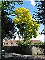 SO6911 : False Acacia tree with parasitic mistletoe, Church Road by Pauline E