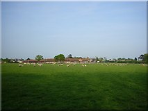 TQ5704 : Sheep grazing on The Stud Farm, Polegate by Brenda Tompkins
