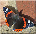 TA0322 : Red Admiral by David Wright