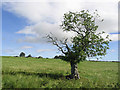 NU0512 : Tree in a pasture field by Walter Baxter