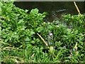 TG0636 : Watercress (Nasturtium officinale) by Evelyn Simak