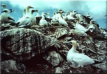 HP5917 : Gannets on Humla Stack by Mike Pennington