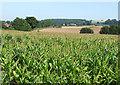 SO5893 : Maize Fields, near Brockton, Shropshire by Roger  Kidd