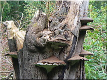 TQ0950 : Bracket Fungi in Mountain Wood by Colin Smith