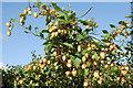 SH3537 : Hopys (Humulus lupulus) Hops by Alan Fryer