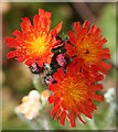NJ7550 : Orange Hawkweed (Pilosella aurantiaca) by Anne Burgess