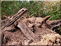 TL7198 : Bog oak by Lisa Wild