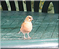 SR9995 : Male chaffinch on the look out for cake crumbs by Pauline E