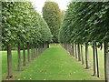 SJ3248 : Espalier trained plane trees in Erddig House gardens by John Haynes