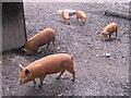 SJ6903 : Piglets at Blists Hill by M J Richardson