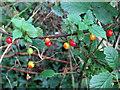 TG0031 : A garland of ripening berries - Black Bryony (Tamus communis) by Evelyn Simak