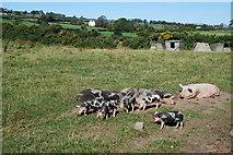 SH3936 : Moch Pwllheli Pigs by Alan Fryer