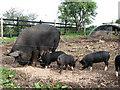 TG4026 : Berkshire pigs by Evelyn Simak