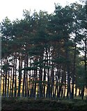 SE8097 : Edge of Forestry at Tranmire Bogs. by Steve Partridge