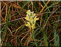 TL6398 : Yellow Toadflax by Lisa Wild