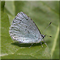 TL4658 : Holly Blue butterfly (Celastrina argiolus) by Keith Edkins