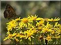 SD2708 : Gatekeeper (Pyronia tithonus) on Ragwort (Senecio jacobaea), Formby by Mike Pennington