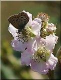 SH7783 : Silver-studded Blue (Plebeius argus) on bramble (Rubus sp.), Great Orme by Mike Pennington