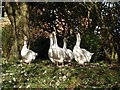 NZ7418 : Geese on guard by Stephen McCulloch