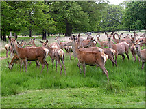 TQ1872 : Deer in Richmond Park by Mark Percy
