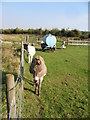 TR3050 : Donkeys in a field between the old and new A256 by Nick Smith