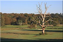 TL8162 : Dead tree in Ickworth Park by Bob Jones