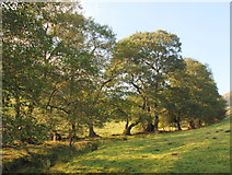 SK2377 : Alder trees in Mag Clough by Roger Temple