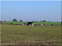SJ4532 : Cattle grazing by Eirian Evans