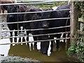 SX5591 : Cattle at Youlditch Farm by Derek Harper