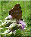 TQ0516 : Brown Hairstreak Butterfly RSPB Pulborough West Sussex by Janet Richardson