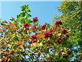 SN0737 : Guelder rose berries by ceridwen