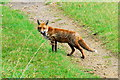 TF0902 : Fox near Bushey Wood, near Southorpe by Julian Dowse