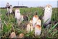 TF0801 : Mushrooms near Hereward Way, Southorpe by Julian Dowse
