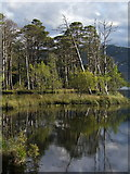 NH9617 : Pines, Loch Mallachie by F Leask