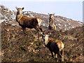 NC2545 : Red deer by sylvia duckworth
