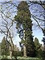 SO2856 : Redwood at Hergest Croft Garden by Jonathan Billinger